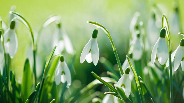 Buy online Snow Drops for new year eve Melbourne