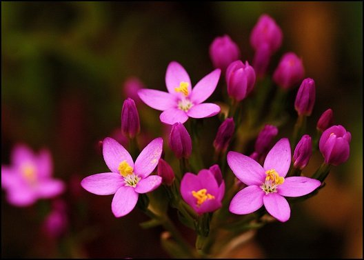 Buy Centaury flowers Delivery Melbourne