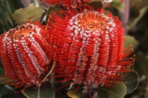 Order Australian Banksias for Weddings Melbourne