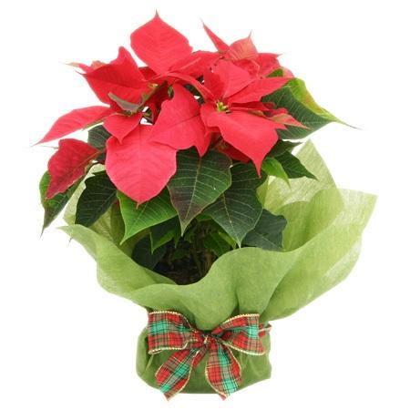 Poinsettia Plant - Christmas Special
