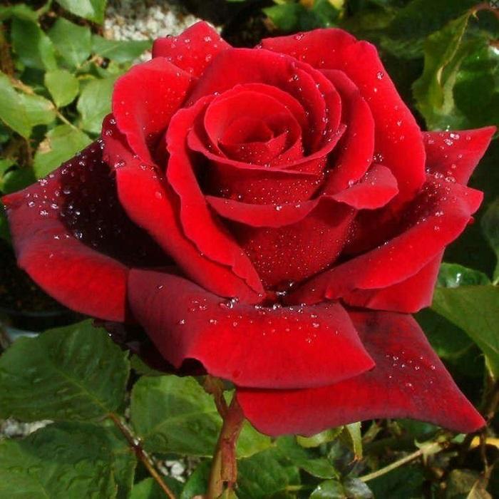 Royal William Rose
