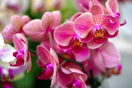Holi Orchid
