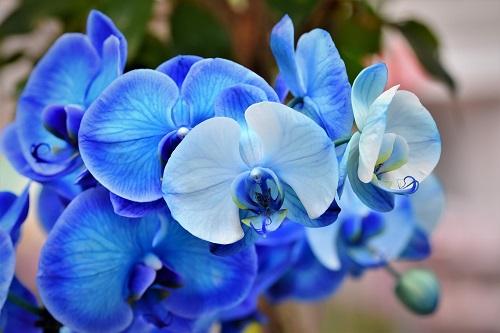Holi Orchid Blue