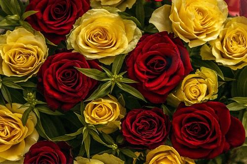 Lohri Roses