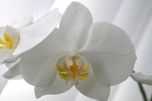 Lohri Orchid