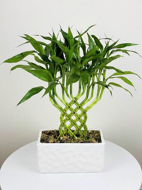 Evergreen Plant Online