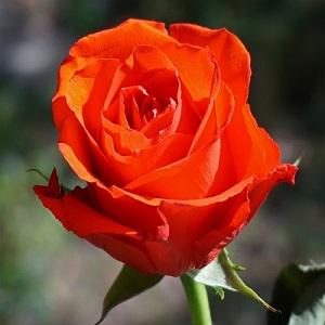 Orange Roses Flower Delivery Melbourne