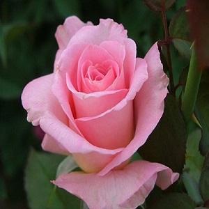 Pink Roses Arrangements