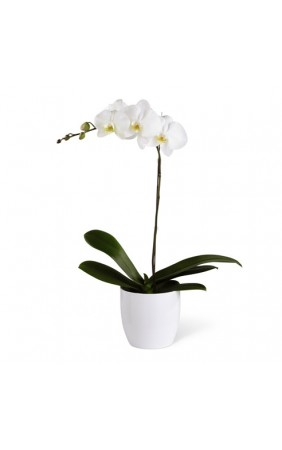 Cooktown Orchid Flowers Delivery