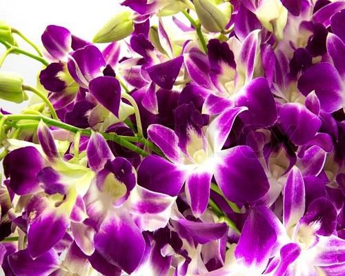 purple orchids flowers online Melbourne