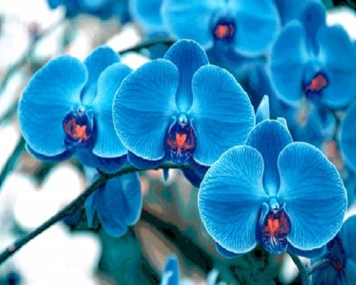 blue orchids flowers online Melbourne