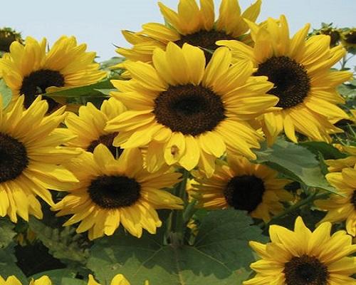 order sunflowers online in Melbourne