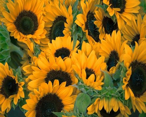 Buy sunflowers online
