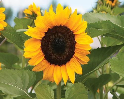 order sunflowers online